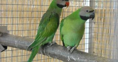 parakeets-956851_960_720