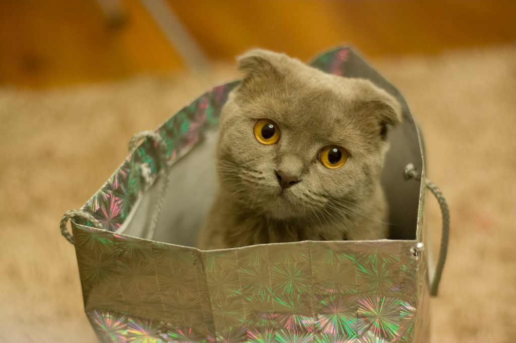 gray scottish fold cat in gift bag