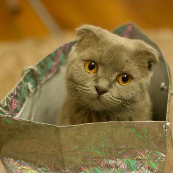 gray scottish fold cat in gift bag