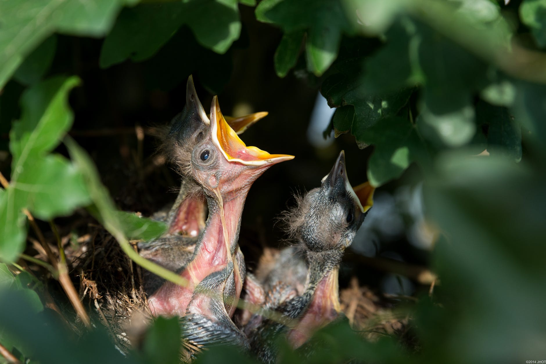 hungry baby birds in nest