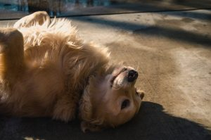 upside-down golden retriever