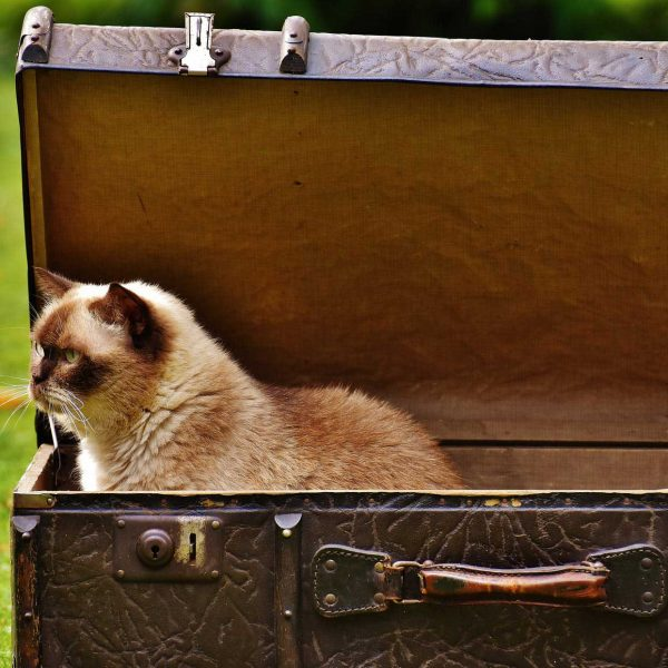 cat in a large suitcase